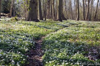 Copperas Wood Anemones