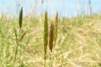 Sweet Vernal-grass