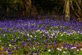 Bluebells and Wood Anenomes at Backwarden