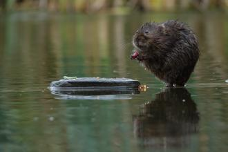 Water Vole Russell Savory