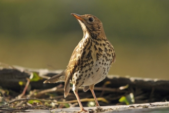 Song Thrush Dawn Chorus