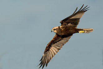 Marsh Harrier - Peter Hewitt