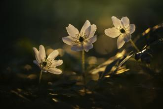 Wood Anemone Guy Edwardes 2020 Vision