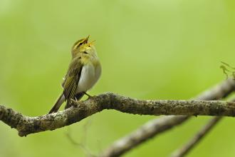 Wood Warbler Andy Rouse 2020 Vision