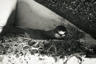 Swallow webcam
