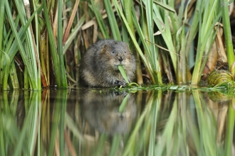 Water Vole eating Terry Whittaker 2020 Vision