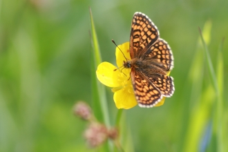 Marsh Fritillary Butterfly resting on a flower