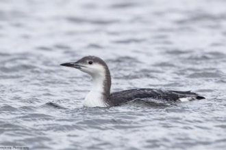 Black Throated Diver at Gunners Park and Shoebury Ranges nature reserve