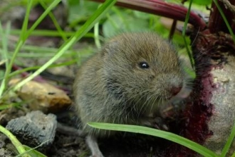 Bank Vole eating a Beetroot