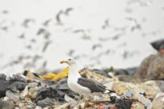 Gull on landfill