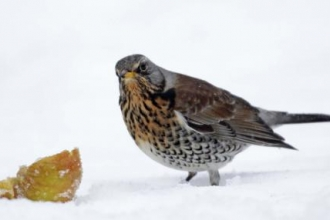 Fieldfare in snow by Margaret Holland