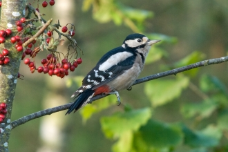 Great Spotted Woodpecker by Bob Coyle