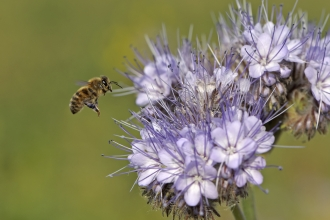 European Honey Bee in flight at a flower
