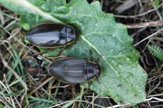 Great Diving Beetles