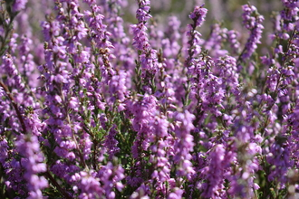 Tiptree Heather