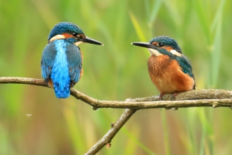 Kingfishers Photo: Jon Hawkins Surrey Hills Photography