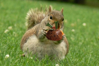 Squirrel holding a christmas pudding