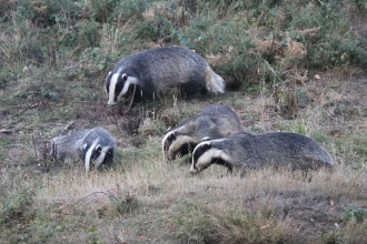 Badgers at Fingringhoe