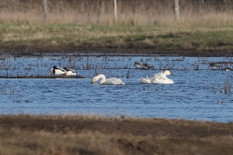 Two Bewick's Swans at Blue House Farm