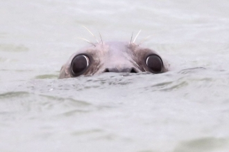 Grey seal by Andrew Armstrong