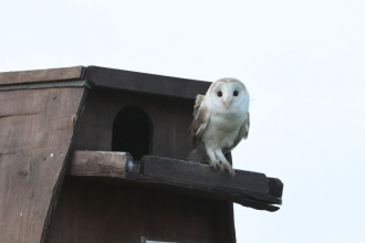 Barn Owl on Blue House Farm nest box
