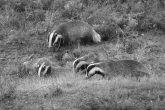 Badger webcam at Fingringhoe