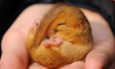 Dormouse - Amy Lewis