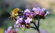 Common carder bumblebee - Wildnet / Nick Upton