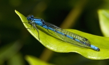 Common blue damselfly - Les Binns / Wildnet