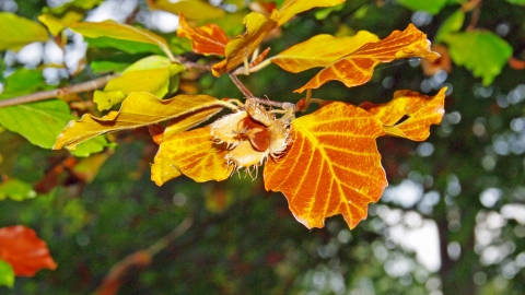 Common Beech