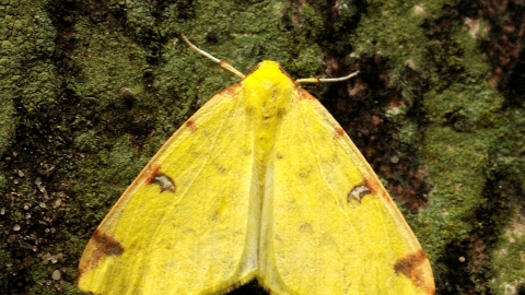 Brimstone Moth