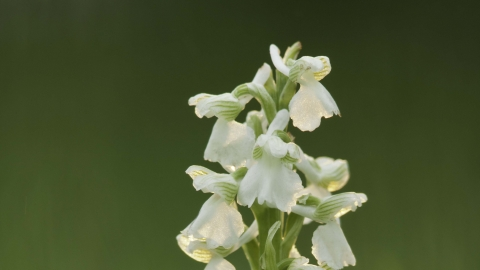 Green-winged Orchid (white form)