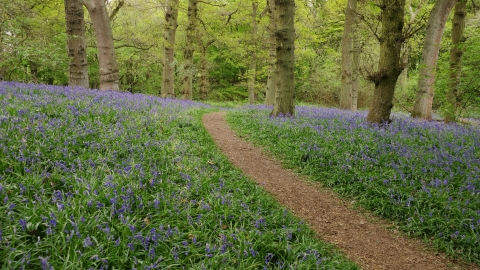 Shut Heath Wood Bluebells