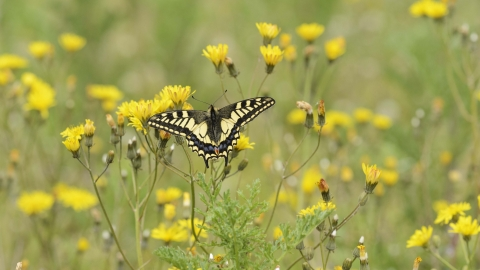 Swallowtail Es Wildlife Trust
