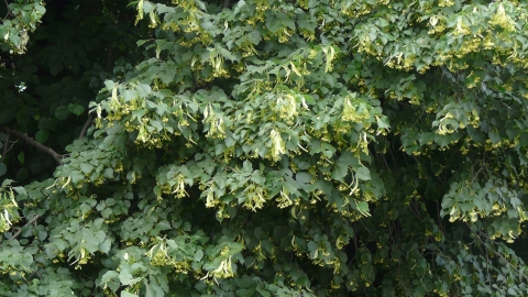 Small-leaved Lime