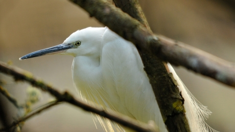Little Egret Steve Waterhouse