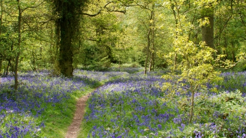 Weelyhall Wood in Bluebells