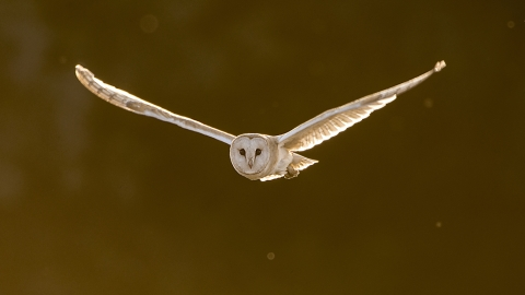 Barn Owl Blue House Farm Peter Hewitt
