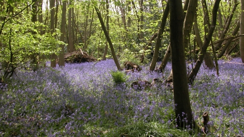 Tile Wood nature reserve Bluebells