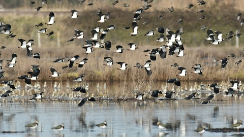 Lapwing and Plover Blue House Farm Peter Hewitt