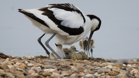 Avocet with chicks Blue House Farm Peter Hewitt
