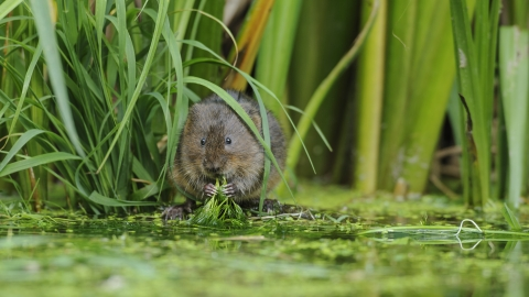 Water Vole Terry Whittaker 2020 Vision