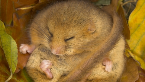 Dormouse sleeping