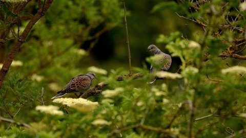 Turtle Doves at Wrabness