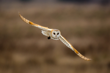 Barn Owl conservation project
