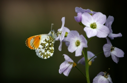 Orange tip on cuckoo flower