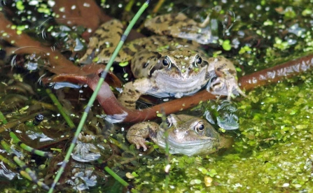 Common Frogs Courting