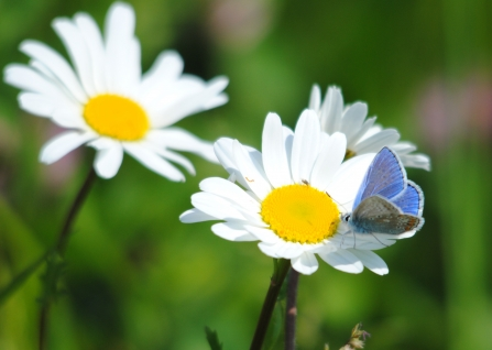 Common blue butterfly on oxeye daisy - Amy Lewis