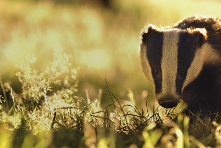 Badger by 2020VISION