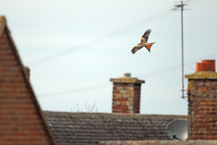 Red Kite Urban